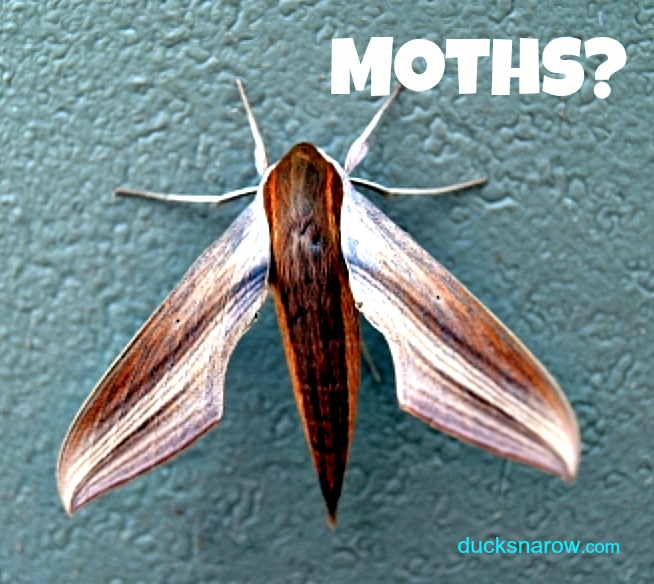 Troubled by moths in your kitchen? #pantrymoths #bugs Ducks 'n a Row