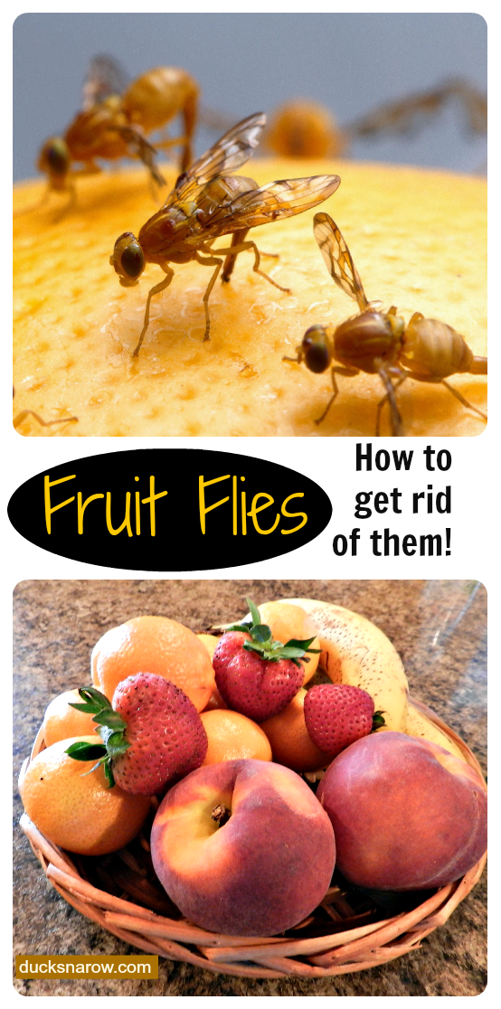 fruit flies what are they how do i get rid of them ducks 39 n a row. Black Bedroom Furniture Sets. Home Design Ideas
