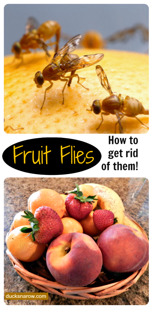 golden fruit getting rid of fruit flies