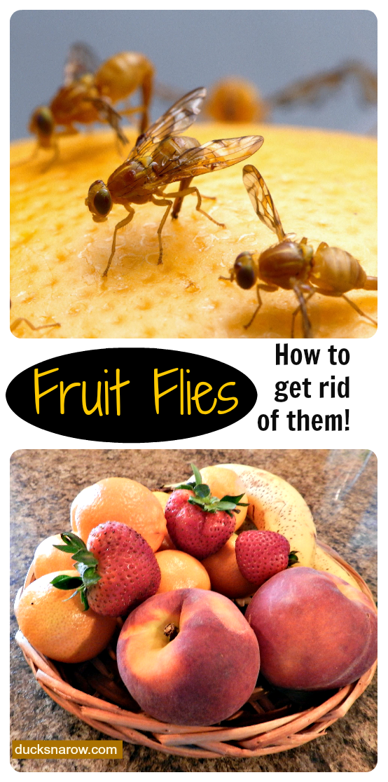 how to get rid of fruit flies naturally ducks 39 n a row. Black Bedroom Furniture Sets. Home Design Ideas